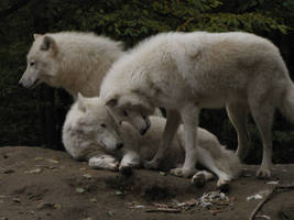 North American Arctic Wolf 52 by animalphotos