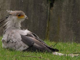 Secretary bird 14 by animalphotos