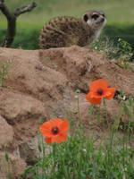 Meerkat 09 by animalphotos