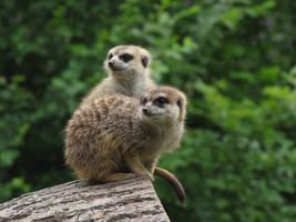 Meerkat 10 by animalphotos