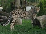 Cheetah 09