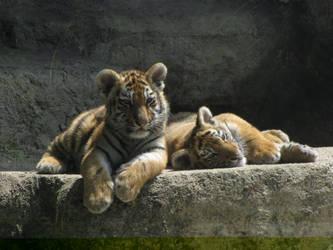 Siberian Tiger 08 by animalphotos