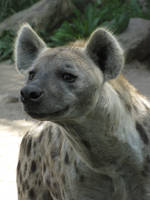 Spotted Hyena 27