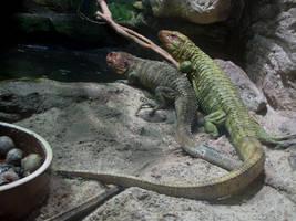 Northern Caiman Lizard 01 by animalphotos