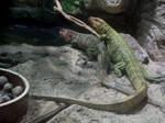 Northern Caiman Lizard 01