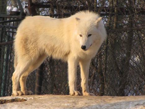North American Arctic Wolf 87