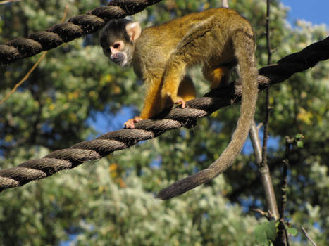 Bolivian Squirrel Monkey 03