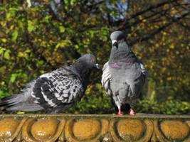 Domestic Pigeon 04