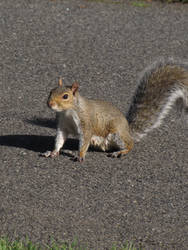 Eastern Gray Squirrel 02