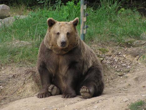 Brown Bear 05