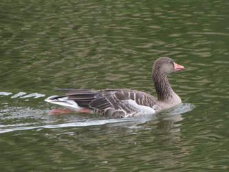 Greylag Goose by animalphotos