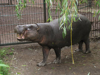 Pygmy Hippopotamus 07 by animalphotos