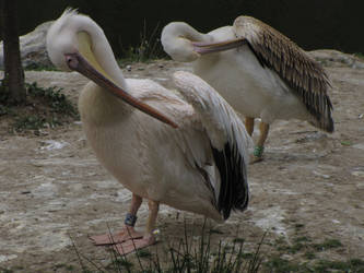 Great White Pelican 05 by animalphotos