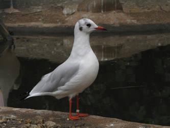 Common Black-headed Gull 04 by animalphotos