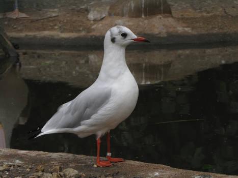 Common Black-headed Gull 04
