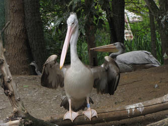 Pink-backed Pelican by animalphotos