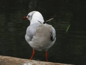 Common Black-headed Gull 03
