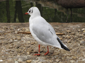 Common Black-headed Gull 02 by animalphotos