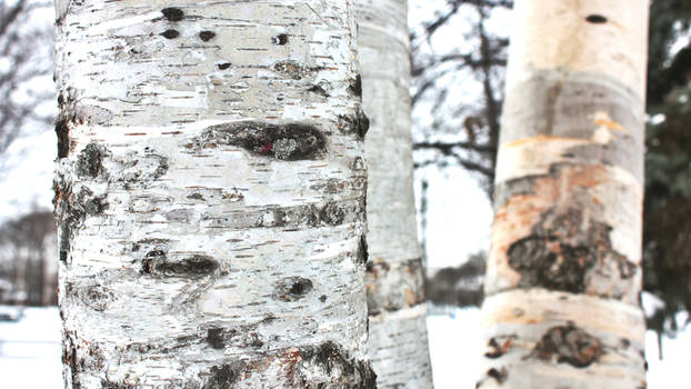 This is Birch Bark
