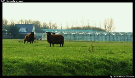 Black Sheeps on flat land