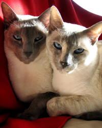 Siamois Cats
