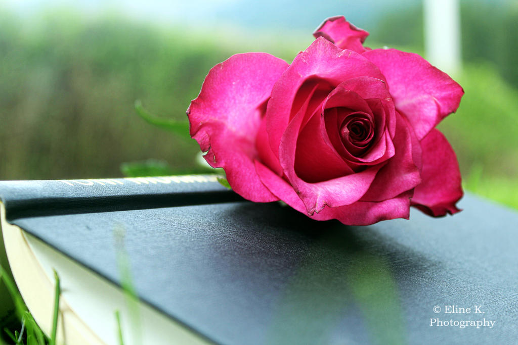 Rose by PhotoCanon