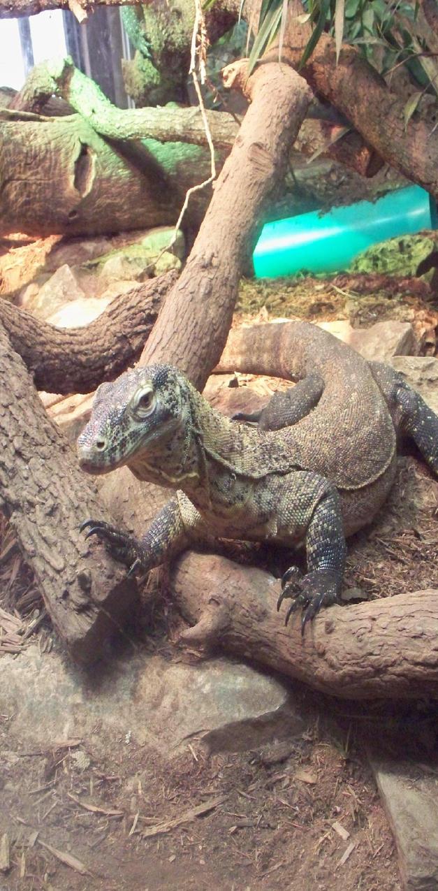 Komodo Dragon 1 by LadyAyakoTami