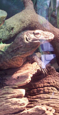 Komodo Dragon - Head 1