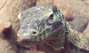 Komodo Dragon - Head 5