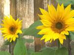 Sunflowers by FullMetalMono