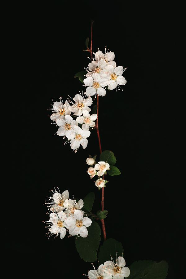 Blossom by AlyonaTravkina