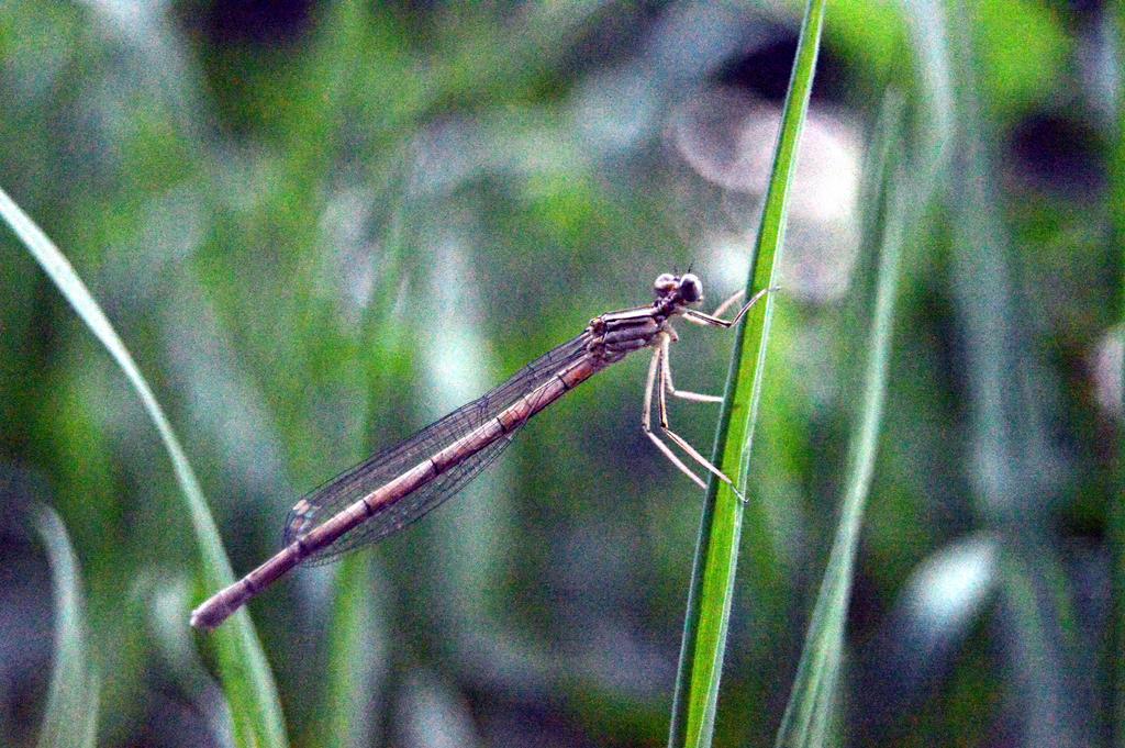 Weird dragonfly by Ama-Lemuria