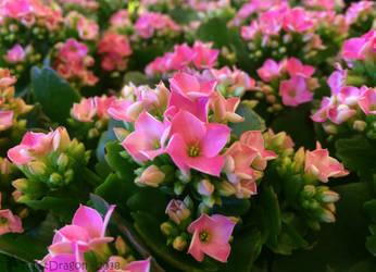 Sea of Pink by TwistDragon