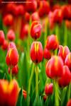 tulip by shuichimeryl