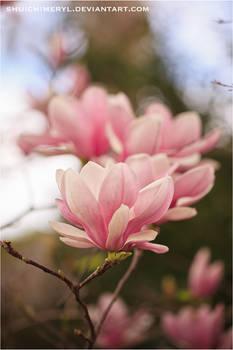 Magnolia - soulangeana 01