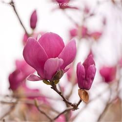 Magnolia - soulangeana 02