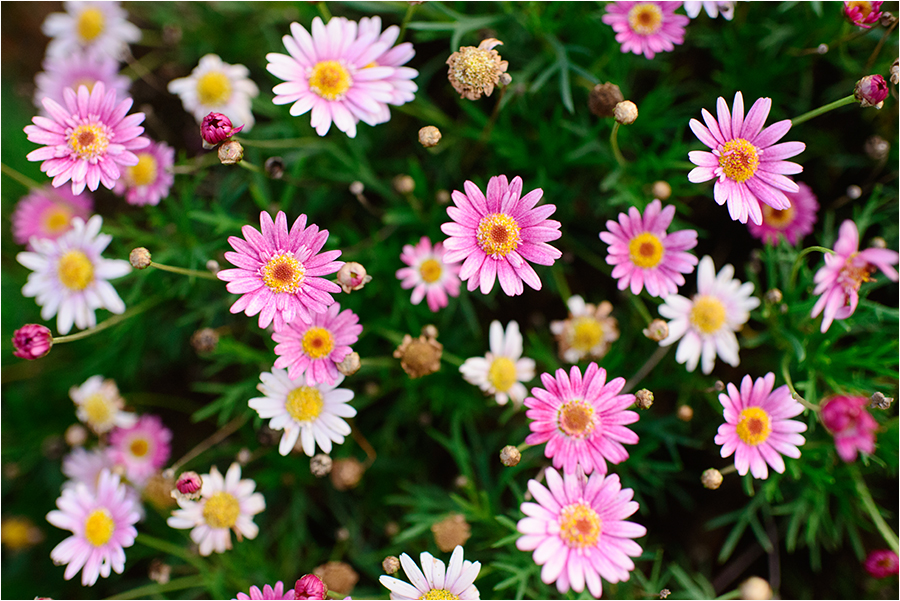 wild chrysanthemum by shuichimeryl