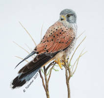 Common kestrel (Falco tinnunculus) by Tulinatur