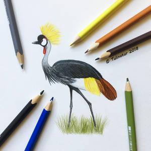 Crowned crane (Balearica regulorum)