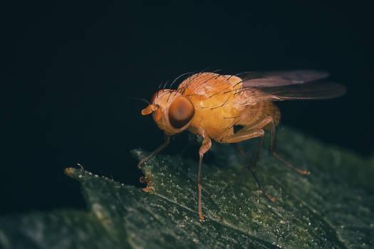Cutie fly