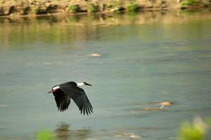 Stork in flight by Ravinss
