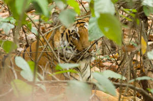 Eye of the Tiger by Ravinss
