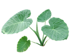 gigantea clear cut Plant PNG