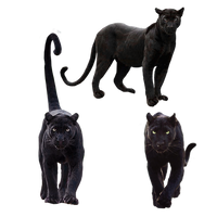 Black Panther Animal Png Pack