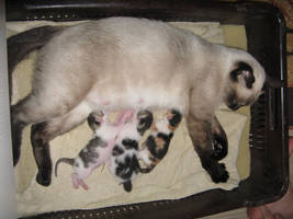Proud Siamese Mom by artlilac