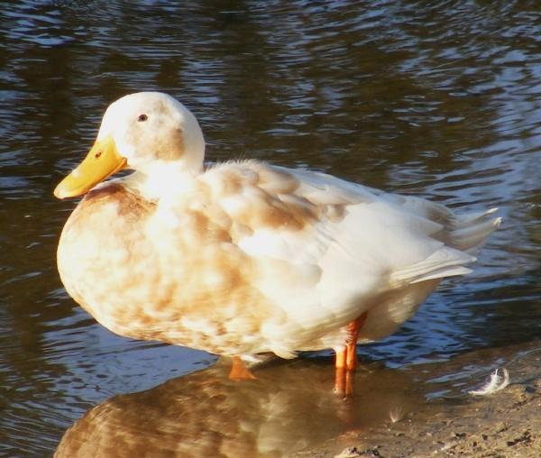 Duck 3 by loraleidarkchylde