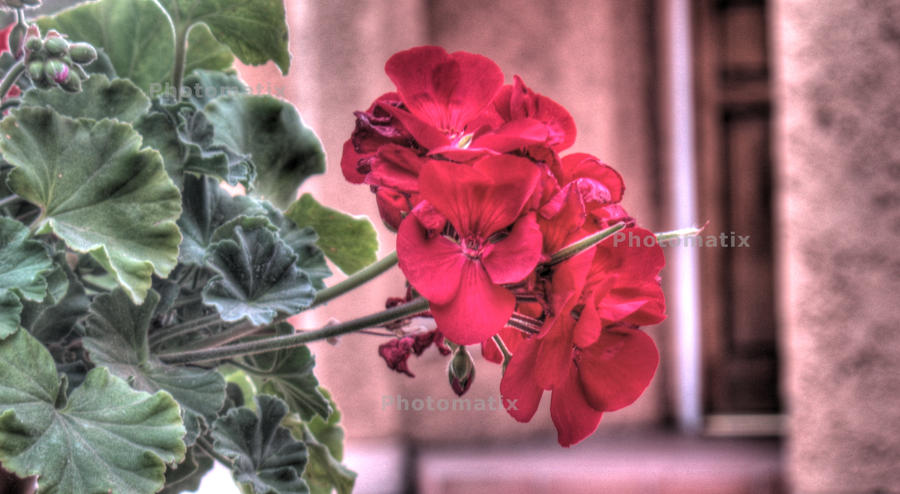 Rose by fragozo