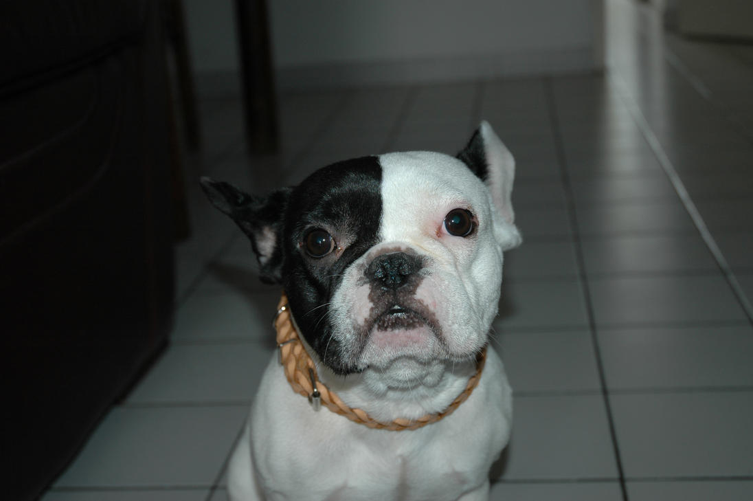 bulldog ne my little french bulldog by ne hilum on deviantart 5267