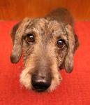 Sluggo the dachshund