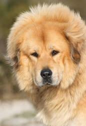 Chempo, the Tibetan Mastiff by SaNNaS